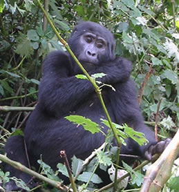 Mountain Gorilla in Bwindi Forest