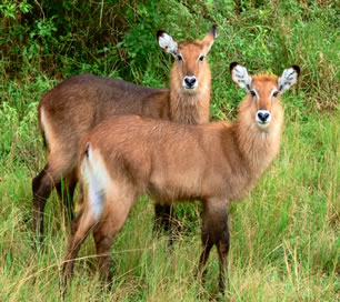 Elands in Lake Mburo National Park