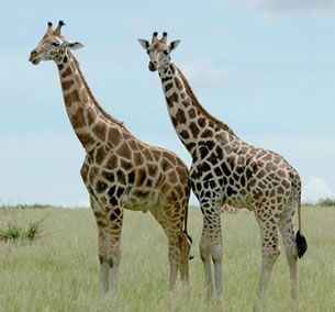 Wildlife Safari in Uganda