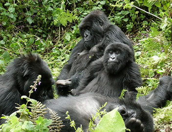 Mountain Gorillas - Uganda's Star Attraction