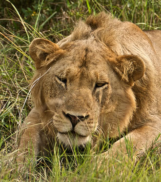 African Lion - Easily Seen on a Uganda Safari