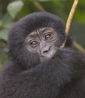 Mountain Gorilla by Peter Price